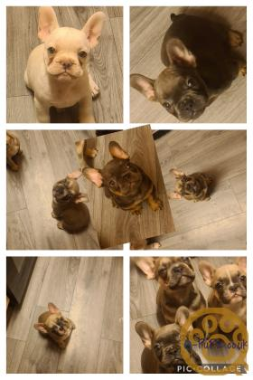10weeks old lovely french bulldogs