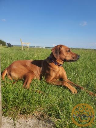 Beautiful Pedigree Rhodesian Ridgeback Puppies for sale