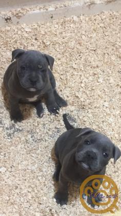 Blue staff puppies