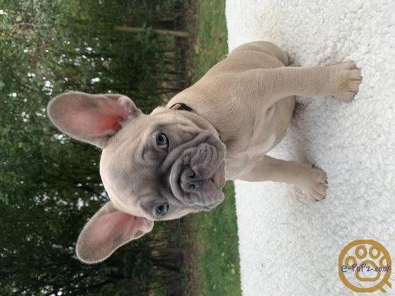 Ready to leave NOW! Beautiful Frenchie Pups for sale