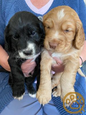 Cocker Spaniel KC Registered Puppies