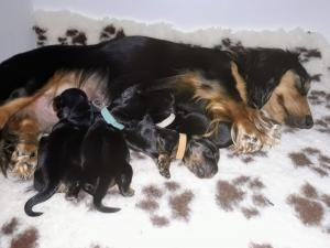 Miniature long-haired dachshund black and tan puppies