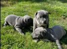 Blue Staffy Pups With Mum and Dad
