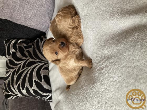 1 Female & 1 Male Cavapooshon Puppies