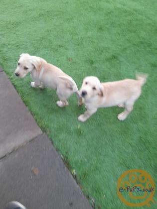 2 adorable Labrador puppies