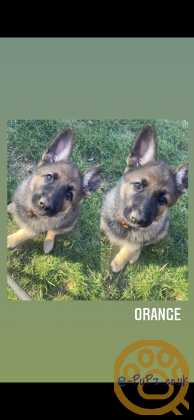 4 Beautiful Female GSD Puppies Available
