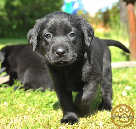 Fabulous Labrador Puppies.