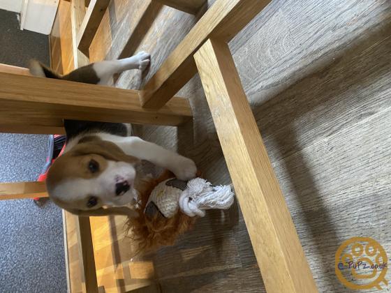 Tri Colour Beagle Male
