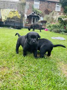 Beautiful Labrador cross puppies for sale