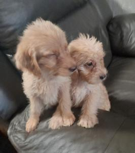Playful F1 Labradoodle Puppies