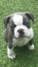 French bulldog x Boston terrier puppies