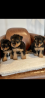 Top quality Welsh terrier puppies
